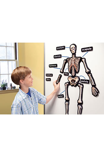 HANDS ON 3D MAGNETS SKELETAL SYSTEM
