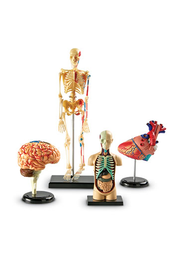 MODEL ANATOMY BUNDLE SET OF 132