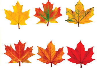 CLASSIC ACCENTS MAPLE LEAVES
