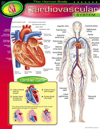 CHART CARDIOVASCULAR SYSTEM