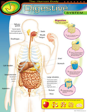 CHART DIGESTIVE SYSTEM