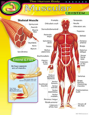CHART MUSCULAR SYSTEM