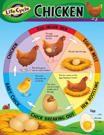 CHART LIFE CYCLE OF A CHICKEN